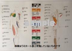 筋肉チャート